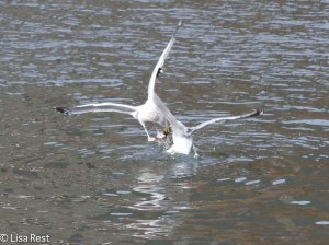 Herring Gulls Battling Over Fish 2-25-14 5929.jpg-5929