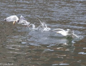 Herring Gulls Battling Over Fish 2-25-14 5931.jpg-5931