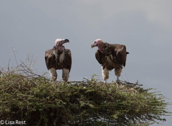 Lappet-Faced Vultures 11-23-13 6985.jpg-2