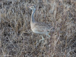 White-Bellied Bustard 11-24-13  8239.jpg-2