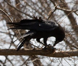 Crow with Peanut 3-21-14 7157.jpg-7157