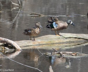 Blue-Winged Teal BWTE Portage 7185.jpg-7185