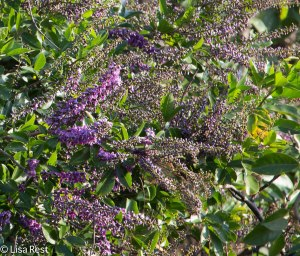 Flowering Shrub 3-12-14 4553.jpg-4553
