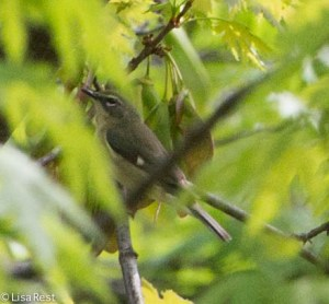 Female Black-Throated Blue Warbler, LaBagh