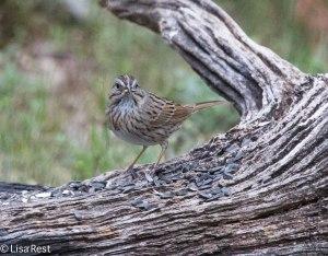 Lincoln's Sparrow, Songbird Meadows, 4-26-14