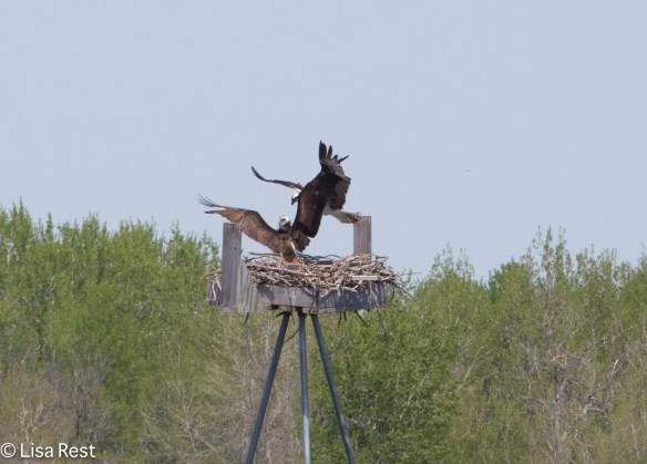 Osprey-3848