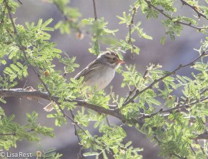 Clay-Colored Sparrow 4-30-14-9685