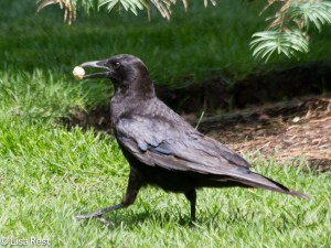 Crow with Peanut 6-9-14-1422