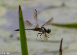 Dragonfly - Pond Hawk 7-13-14-1312
