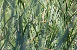 Marsh Wren in the Reeds