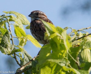 Juvenile Song Sparrow