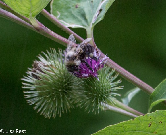 Bee on Burdock