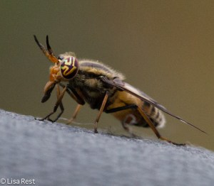 Deer Fly McGinnis 8-10-14-3944