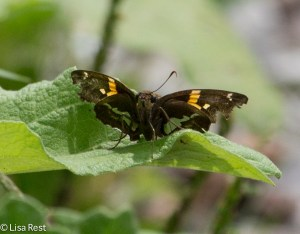 Golden Banded Skipper, I think