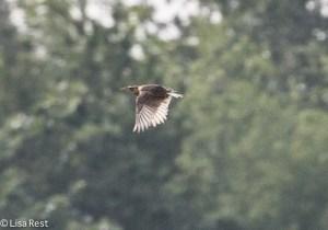 Juvenile Eastern Meadowlark