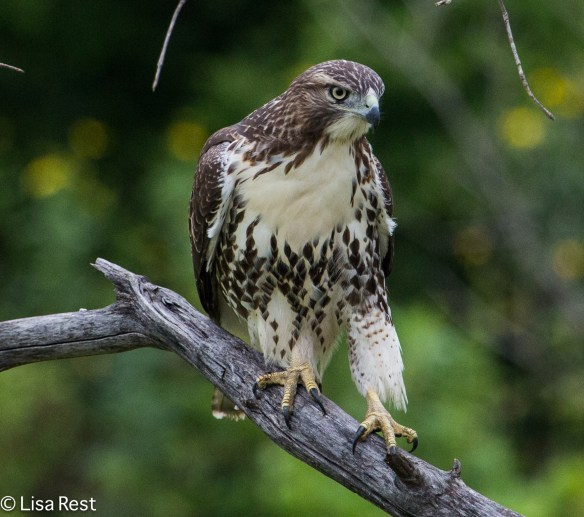 Juvenile Red-Tailed Hawk, Chicago Portage