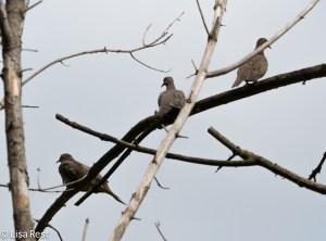 Mourning Dove Tree