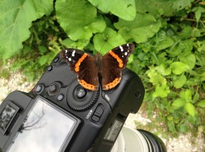 Red Admiral on Camera