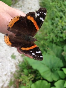 Red Admiral on Finger