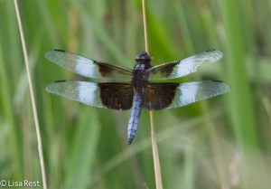 Widow Skimmer Orland 8-3-14-2239