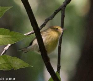 Blackpoll Warbler, LaBagh Woods