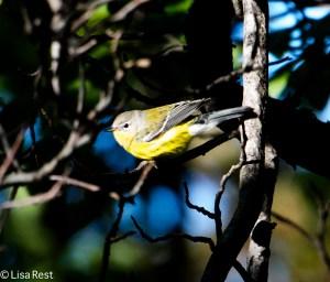 Magnolia Warbler, Columbus Park