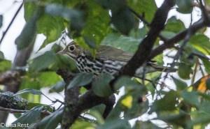 Ovenbird, Chicago Portage