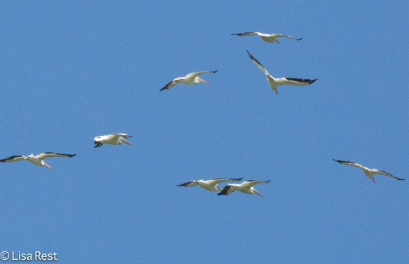 American White Pelicans in Flight, Chautauqua National Wildlife Refuge