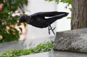 Crow AON-9-12-14-5753