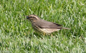 Northern Waterthrush with bug, Lake Shore East Park