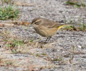 Palm Warbler, Miller Meadow