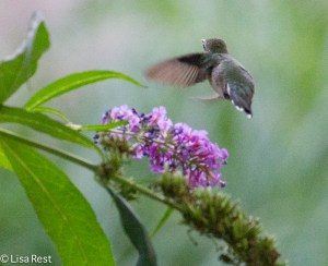 Ruby-Throated Hummingbird, Lake Shore East Park, 9-25-14