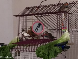 Finches on the budgie cage 11-2-14-0803