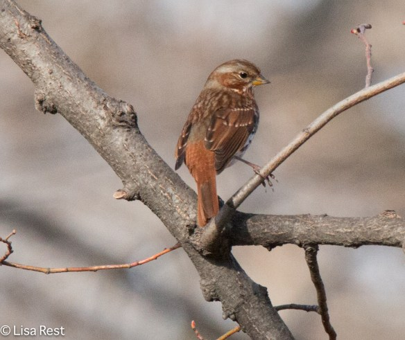 Fox Sparrow, Chicago Portage