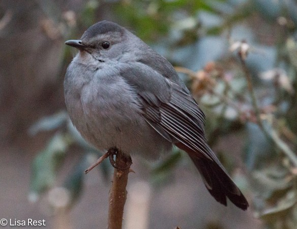 Gray Catbird, Thompson Center 12-30-2014