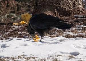 Crow 2-19-15-4687
