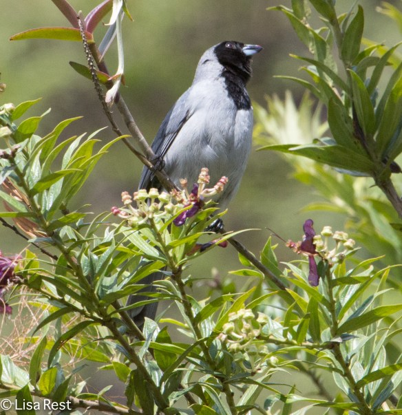 Hooded Tanager 04-03-15-6795