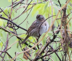 Lincoln's Sparrow, Chicago Portage, 5-10-15