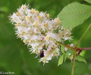 Bee on Horse Chestnut Berwyn 5-10-15-2154