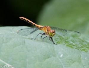 Dragonfly 6-14-15-5127