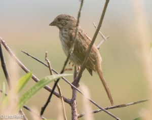 Juvenile Song Sparrow, Goose Lake Prairie
