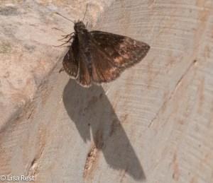 Moth Lurie Millennium 7-15-15-7580