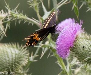 Swallowtail Portage 8-30-15-0204