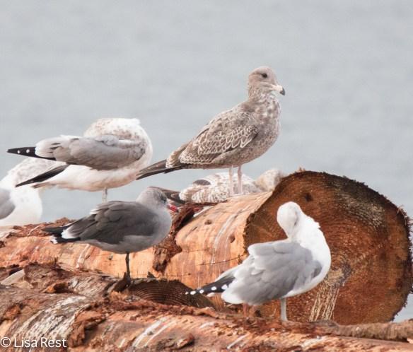 Heermann's, Western and Herring Gulls 9-17-15 -2367