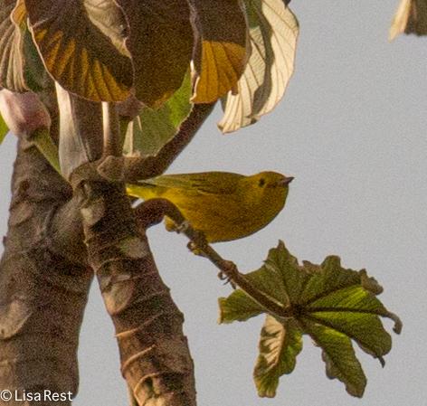 Yellow Warbler 02-24-2016-4234