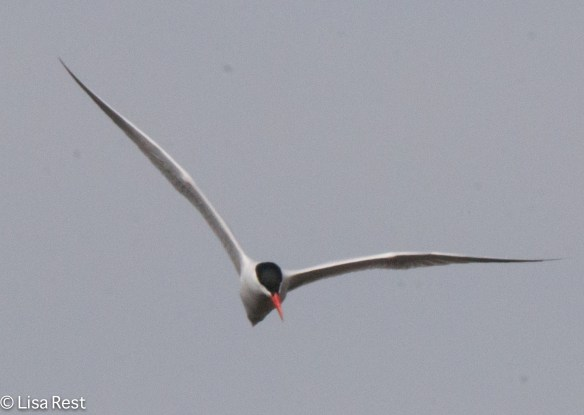 Caspian Tern McGinnis 4-23-2016-6863