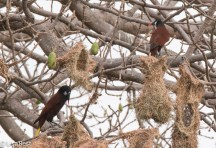 Montezuma Oropendola at Nest 02-25-2016-3195