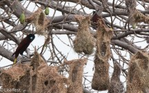 Montezuma Oropendula at Nest 02-25-2016-3190