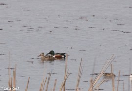 Northern Shovelers McGinnis 4-23-2016-6799