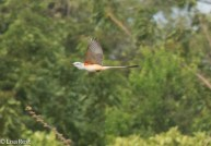 Scissor-Tailed Flycatcher 2-27-15-4868